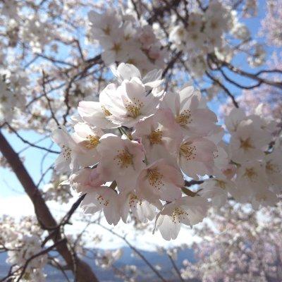【4月6日(木)開催】幸手権現堂さくら堤お花見ウォーク ~桜並木散策とお花見ランチ~のイメージその4