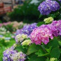 【6月21日(水)開催】紫陽花の弘法山ハイキング