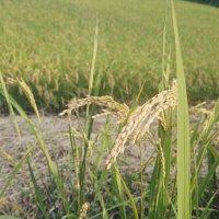 黒澤農園のお米(きぬひかり)