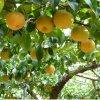 【果汁ジューシー♪】 豊水梨 3㎏ 6~7個入りの画像2