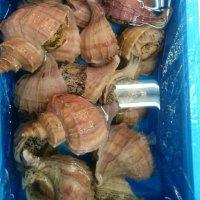 活つぶ貝 1kgパック 中サイズ (一個0.3〜0.5Kg)