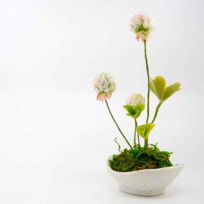 白詰草(シロツメクサ)の画像1
