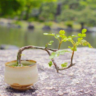 盆栽の画像1