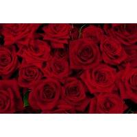 Royal Rose(ロイヤルローズ)香油5ml
