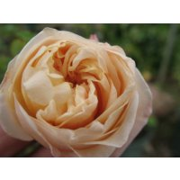 Tea Rose(ティーローズ)香油5ml