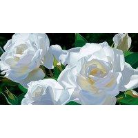 White Rose(ホワイトローズ)香油10ml