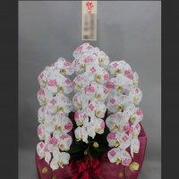 化粧蘭3本立ちプラチナ