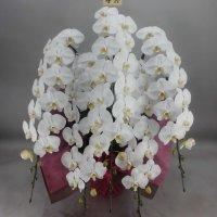 胡蝶蘭5本立エクセレント