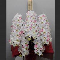 化粧蘭5本立ちプラチナ