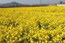 いろは茶屋_風景菜の花